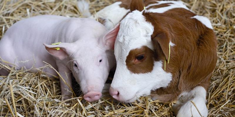 Не мычим, но хрюкаем: В Воронежской области сократилось поголовье скота, но выросло число свиней