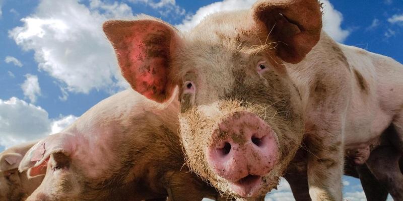 Дорастить и откормить: В Воронежской области открыли очередную свиноводческую площадку