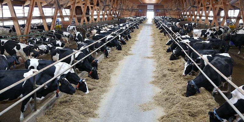 Под дружное мычание: В Воронежской области построят два новых молочных комплекса