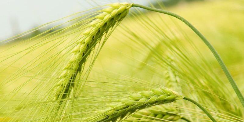 В Воронежской области стали больше сажать зерновых, свеклы и подсолнечника